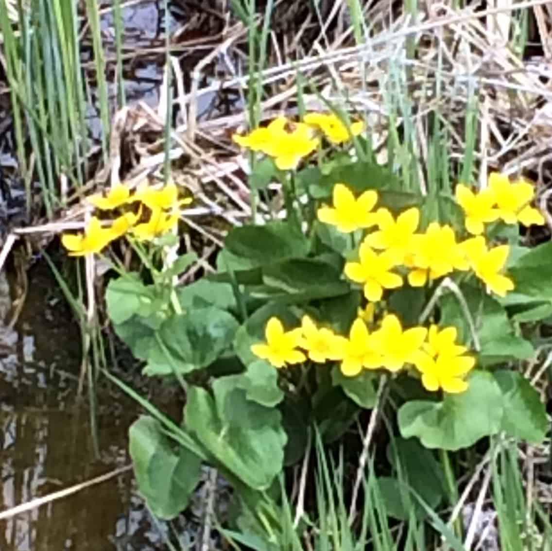 marsh-marigold-img_2202
