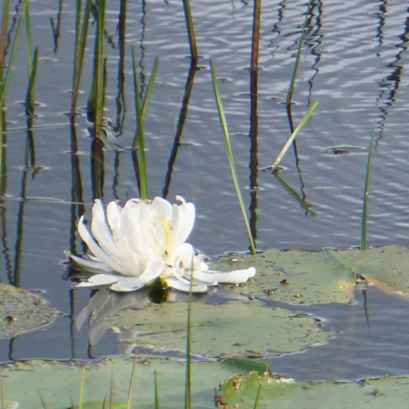 water-lilies4-copy